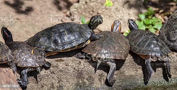 Turtle family picture id467917823?b=1&k=6&m=467917823&s=612x612&h=ygekbpx8ivxs2jdihehawjrrqjaawsfpjbmb3b6shfo=