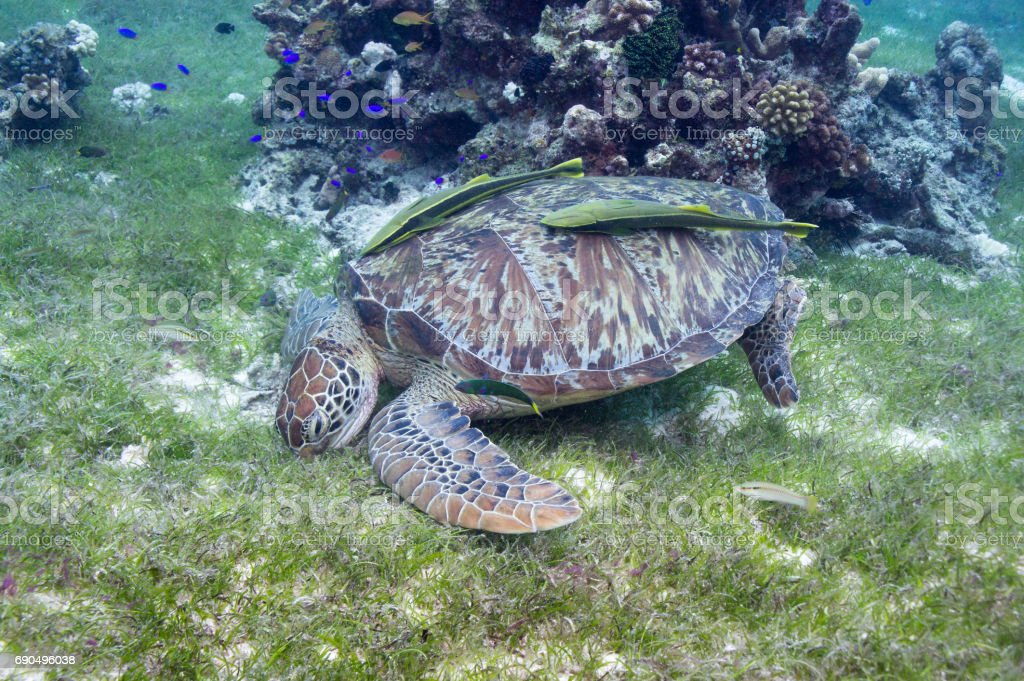 Turtle feeds on sea grass in the shallows with two sucker fish on its back. stock photo
