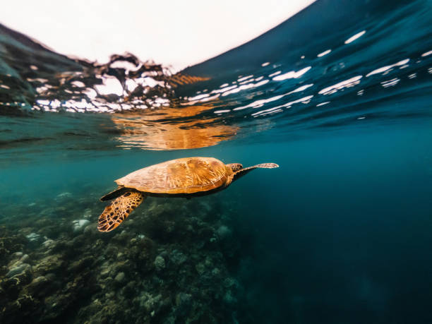 Turtle floating underwater close to surface of water, Philippines stock photo