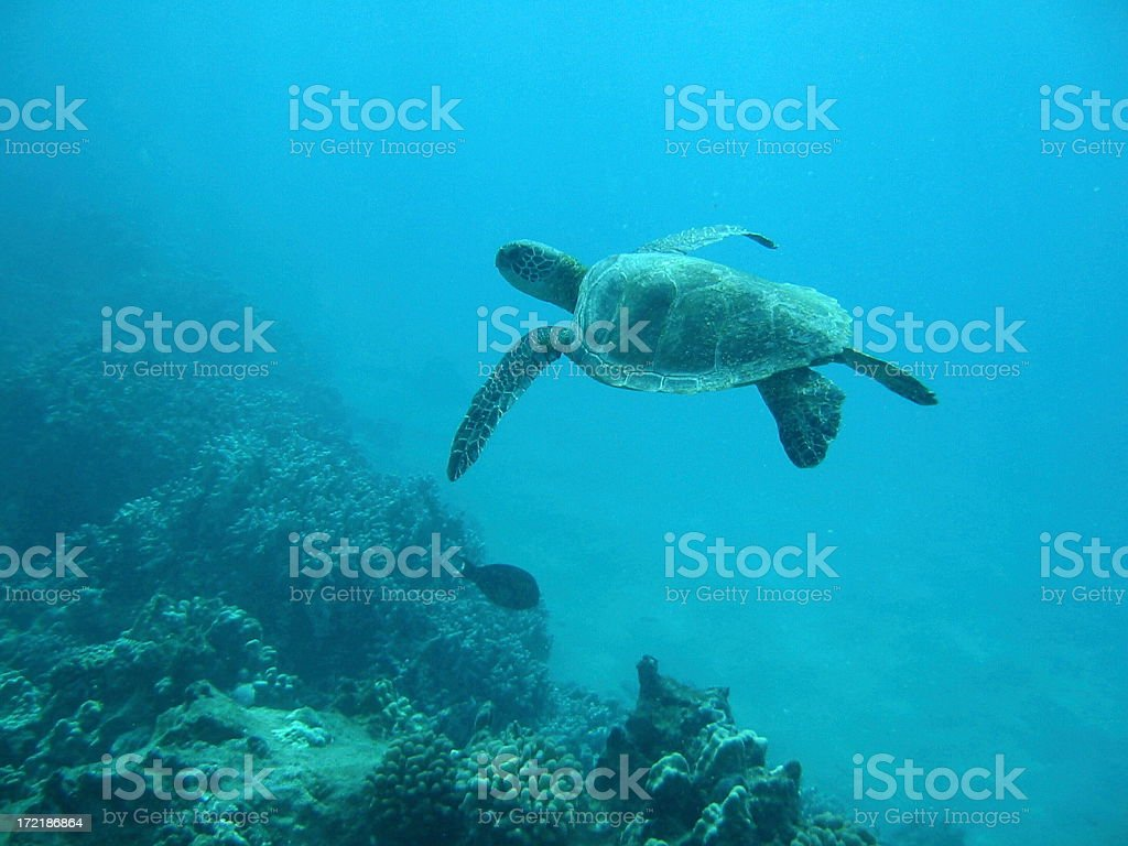 Turtle Glider royalty-free stock photo