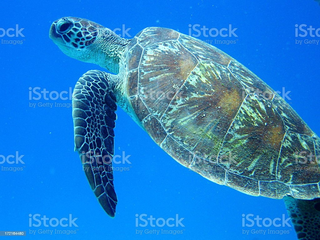 turtle @ great barrier reef royalty-free stock photo