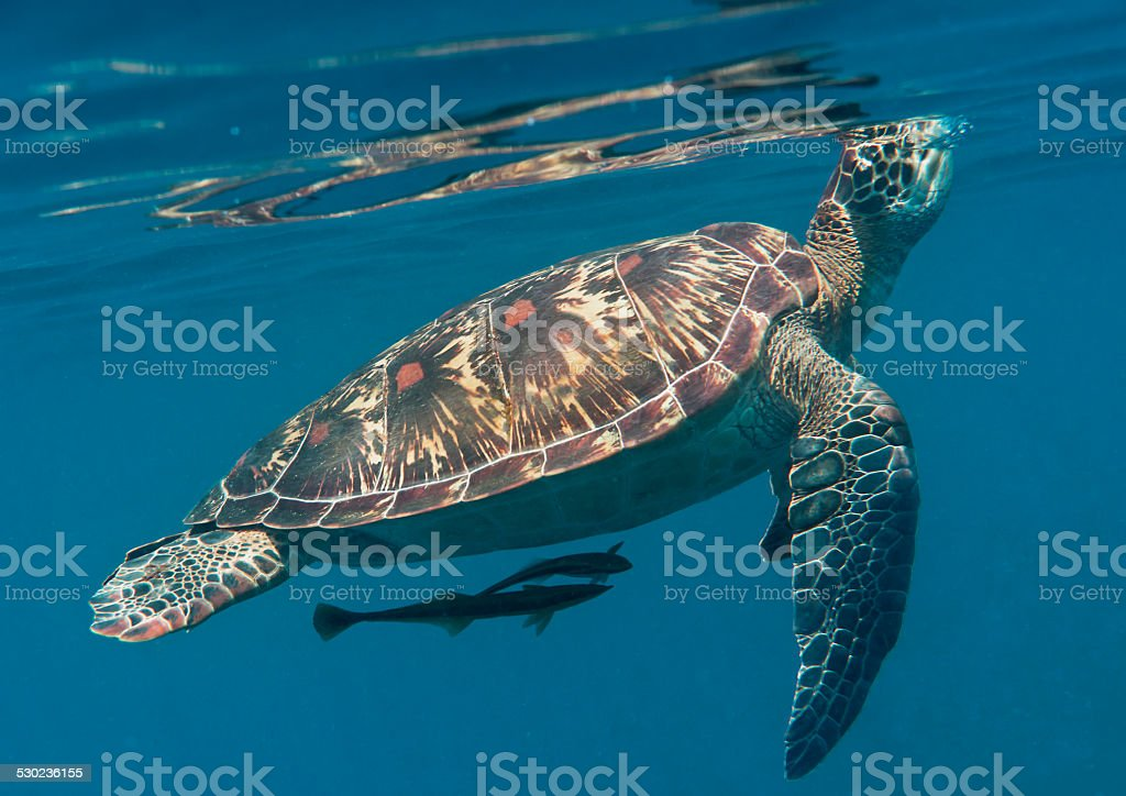 Turtle, green sea turtle under the surface for breathing stock photo