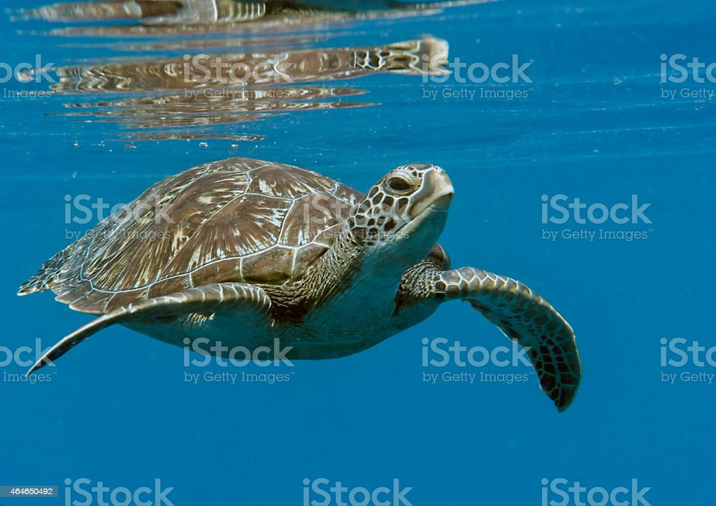 Turtle, green sea turtle  under the water surface for breathing stock photo