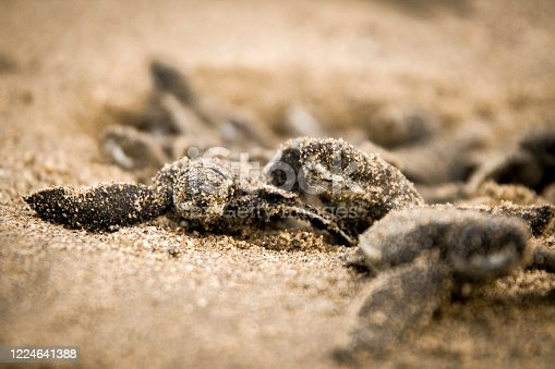 Leatherback turtle hatchlings emerging from a nest
