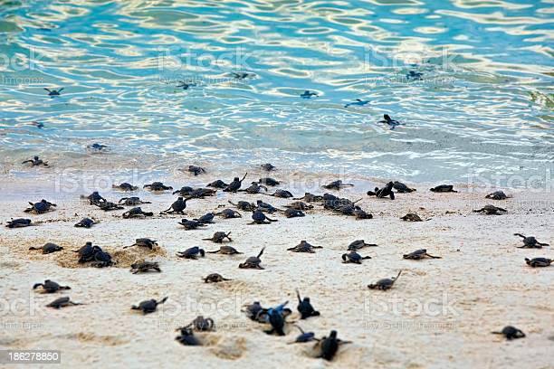 Turtle hatchlings picture id186278850?b=1&k=6&m=186278850&s=612x612&h=8l2dhrsakay421w7ytd02llocm1r2h flt58v0dlayc=