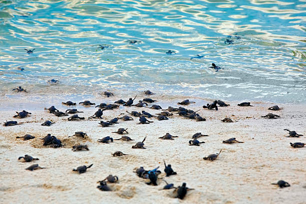 Turtle Hatchlings Turtle Hatchlings taking their first steps down the beach and into the ocean island of borneo stock pictures, royalty-free photos & images