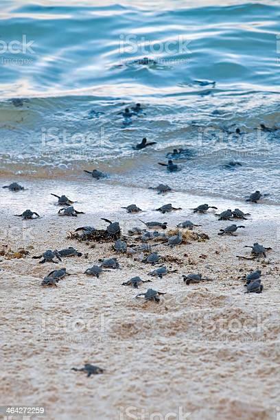 Turtle hatchlings picture id464272259?b=1&k=6&m=464272259&s=612x612&h=o7k9jggthbtss3wtnpmqx8nh2rhtvc9rdepf5bdcbqi=