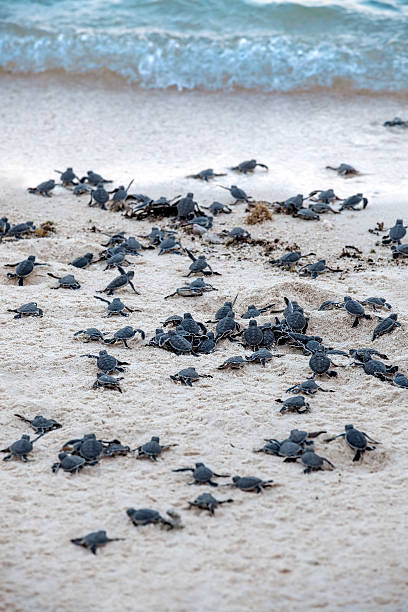 Turtle Hatchlings stock photo