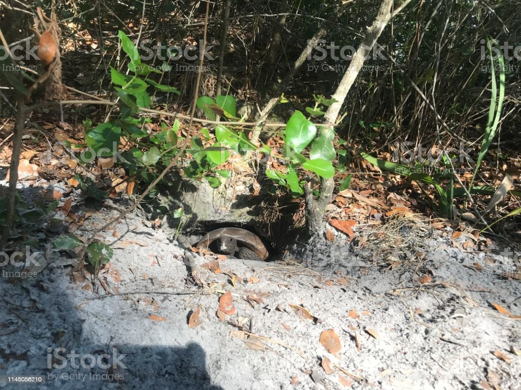 turtle in a hole. turtle hiding in a hole dug in a park