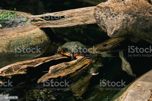 Turtle in a lake picture id1166485828?b=1&k=6&m=1166485828&s=612x612&h=svlwjl3lc77vehiuafpuvoj8q3izpzt8gd9yk0avumo=