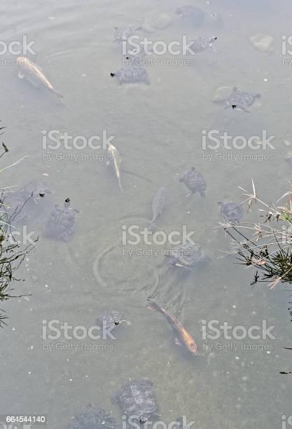 Turtle in a little lake picture id664544140?b=1&k=6&m=664544140&s=612x612&h=k2vqun7ghong4cp6rezakkpjx9kz flyl8bge8thnc0=
