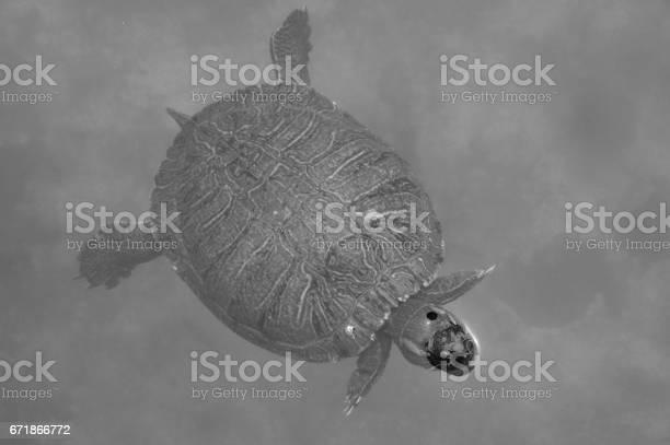 Turtle in a pond black and white picture id671866772?b=1&k=6&m=671866772&s=612x612&h=ppqznbth9sst7gkpkx49likjfg4ifkb3xrz4 hevvms=
