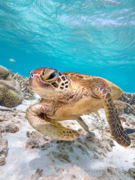 turtle in a rush - great barrier reef stock pictures, royalty-free photos & images