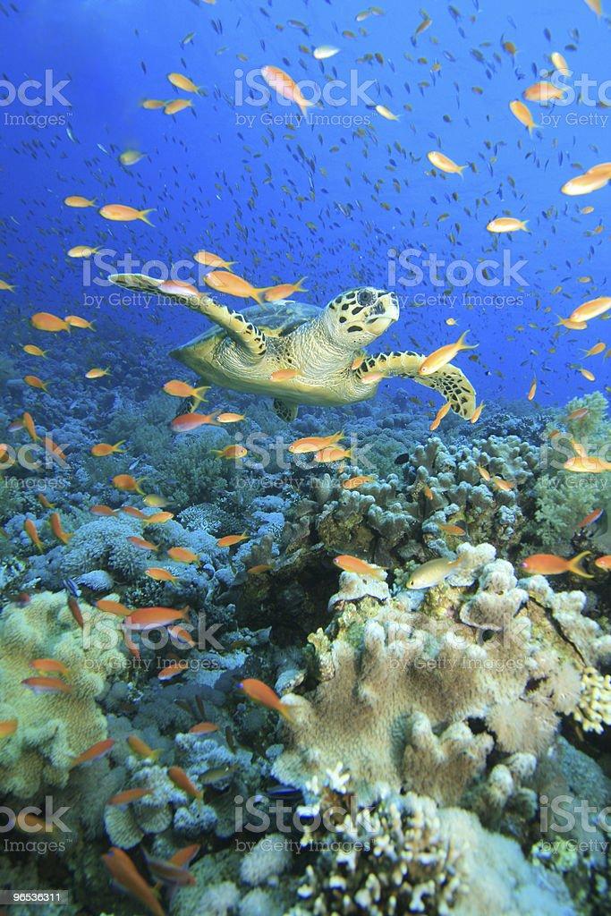 Turtle w chmurze z anthias zbiór zdjęć royalty-free