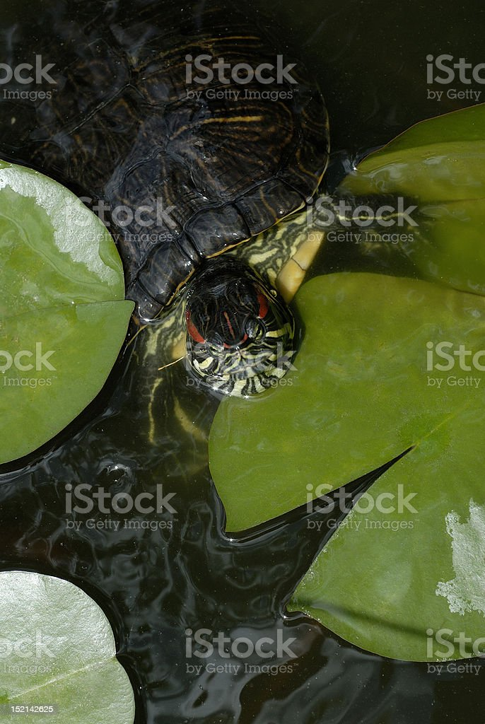 Turtle in lily pond royalty-free stock photo