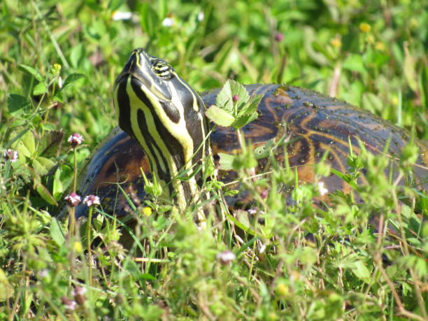 turtle in spring - dianna dann narciso stock pictures, royalty-free photos & images