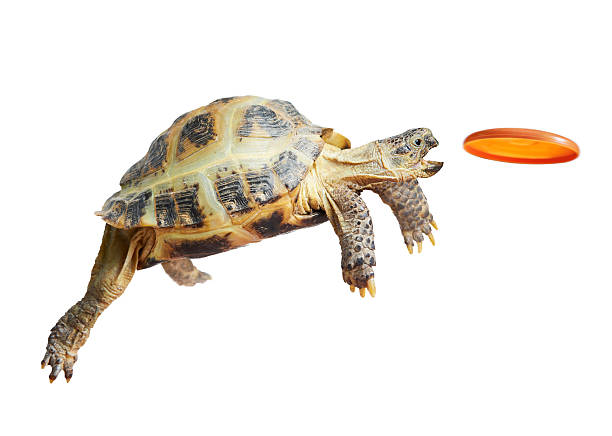 Turtle in the air trying to catch a frisbee stock photo