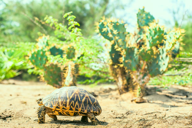 Turtle in the desert next to a cactus stock photo