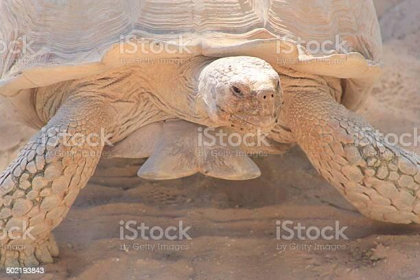 Turtle in the desert picture id502193843?b=1&k=6&m=502193843&s=612x612&h=tr6do0zadstuhlxzulcvydvhpcjcfsyleq7iyjyjelu=