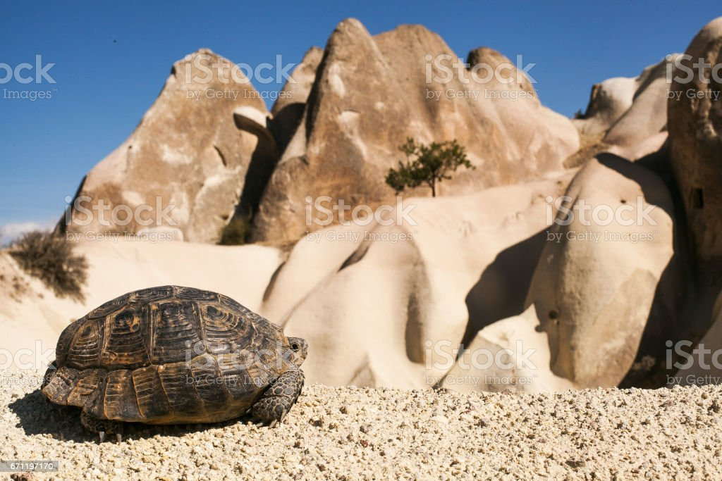 Turtle in the desert stock photo