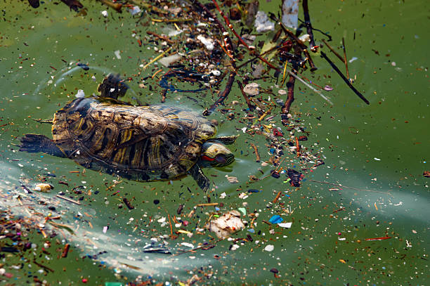 turtle in the dirty sea stock photo