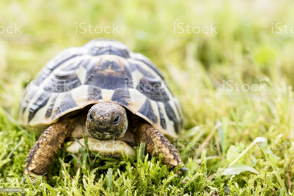 Turtle in the garden stock photo