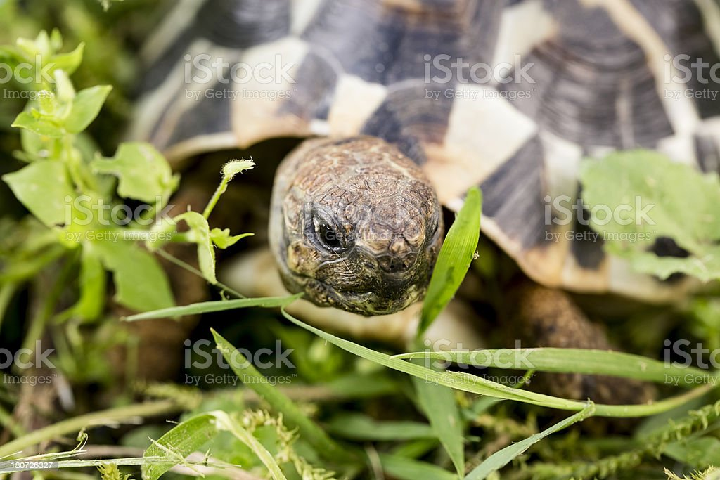 Turtle in the garden royalty-free stock photo