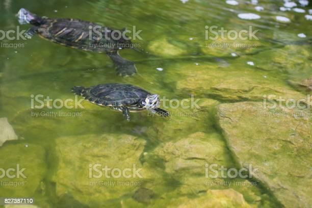 Turtle in the lake picture id827387110?b=1&k=6&m=827387110&s=612x612&h=i7yqfzhc c1d1oc3iztfr9r9sntv4kz pbieul9pfmc=