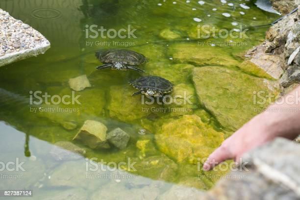 Turtle in the lake picture id827387124?b=1&k=6&m=827387124&s=612x612&h=4 cyb ywgz19qmv5jy4flxcdm  bxiiucgcqzgvx8n0=