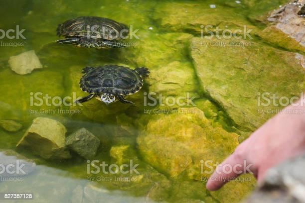 Turtle in the lake picture id827387128?b=1&k=6&m=827387128&s=612x612&h=pa mqonbi7rkyncq8iz1g20mvcq3lxcmsk2 s0mokto=