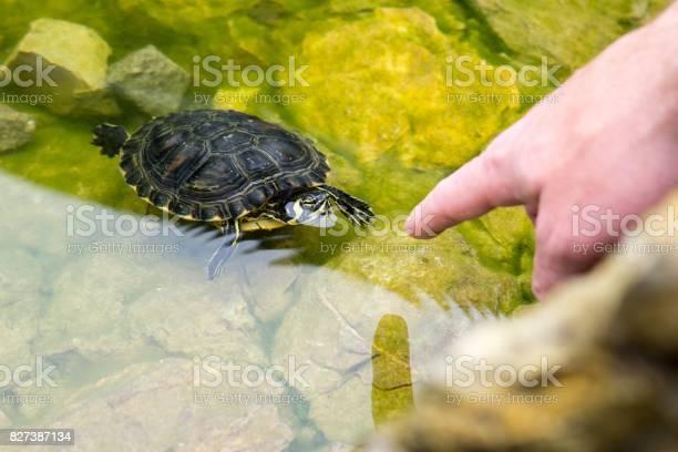 Turtle in the lake picture id827387134?b=1&k=6&m=827387134&s=612x612&h=yzpxidntah2qtcnwzp4h73myazbuowyv1oqjwc27fja=