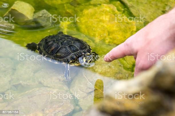Turtle in the lake picture id827387154?b=1&k=6&m=827387154&s=612x612&h=wap2qibiuymy9djvdkmnonhbnkx0wygnu3vg7ie0drk=