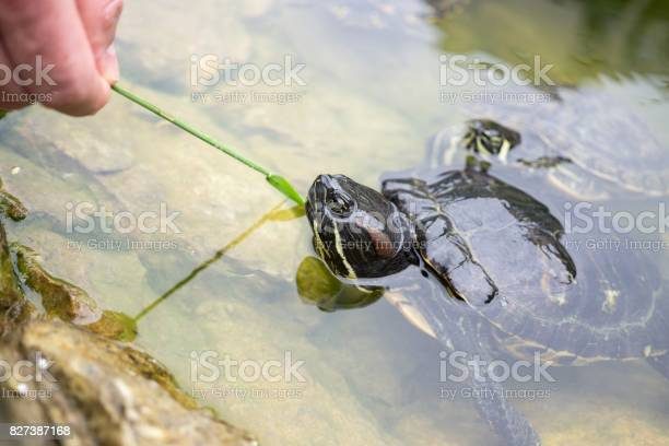 Turtle in the lake picture id827387168?b=1&k=6&m=827387168&s=612x612&h=2umadeasaqblrlx7u7od34  q0qbbrzkqouprgxwnjm=