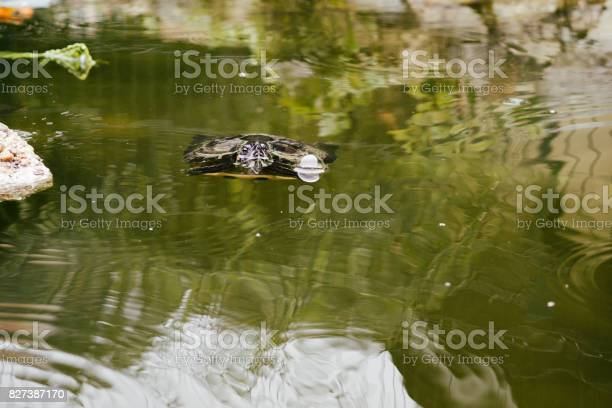 Turtle in the lake picture id827387170?b=1&k=6&m=827387170&s=612x612&h=sqdmoezz8sq4qvhbohedemuuw79iobwn9zagafk sxq=