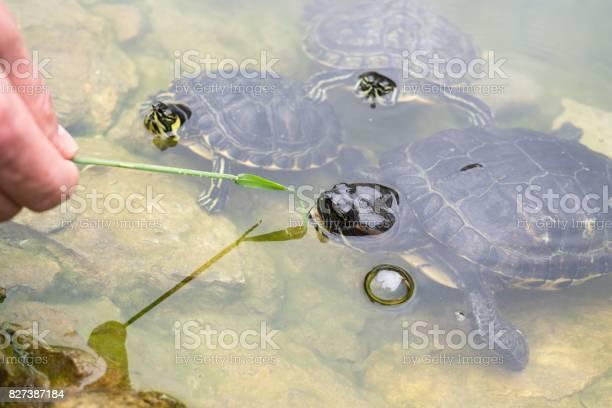 Turtle in the lake picture id827387184?b=1&k=6&m=827387184&s=612x612&h=lpydxazdeu9jc jixqgisfy2z2ip  kb8b0i mihmaa=
