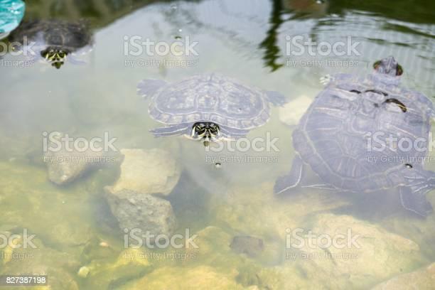 Turtle in the lake picture id827387198?b=1&k=6&m=827387198&s=612x612&h=8uow9tiwrrtb006al42dyzj6vooe6vm8omyjtbdpbfe=