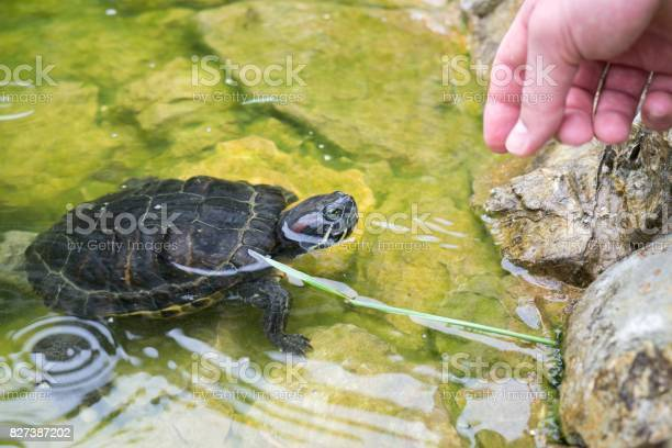 Turtle in the lake picture id827387202?b=1&k=6&m=827387202&s=612x612&h=qpsmyuvvgekap48jmw zjd2eehkzthbbhrh3kqbieoa=