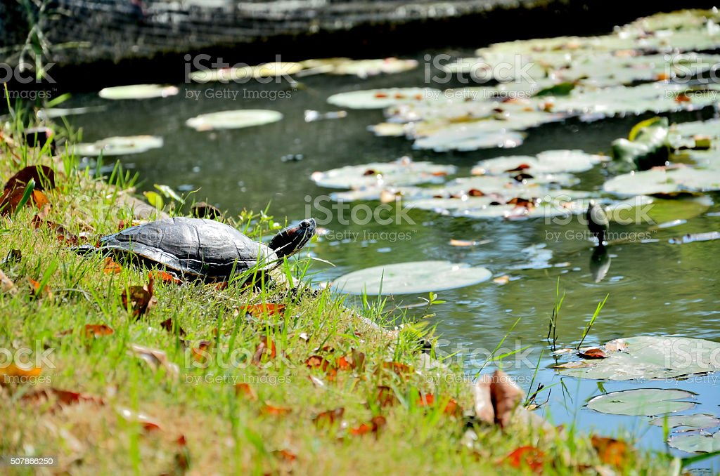 Turtle in the park. stock photo