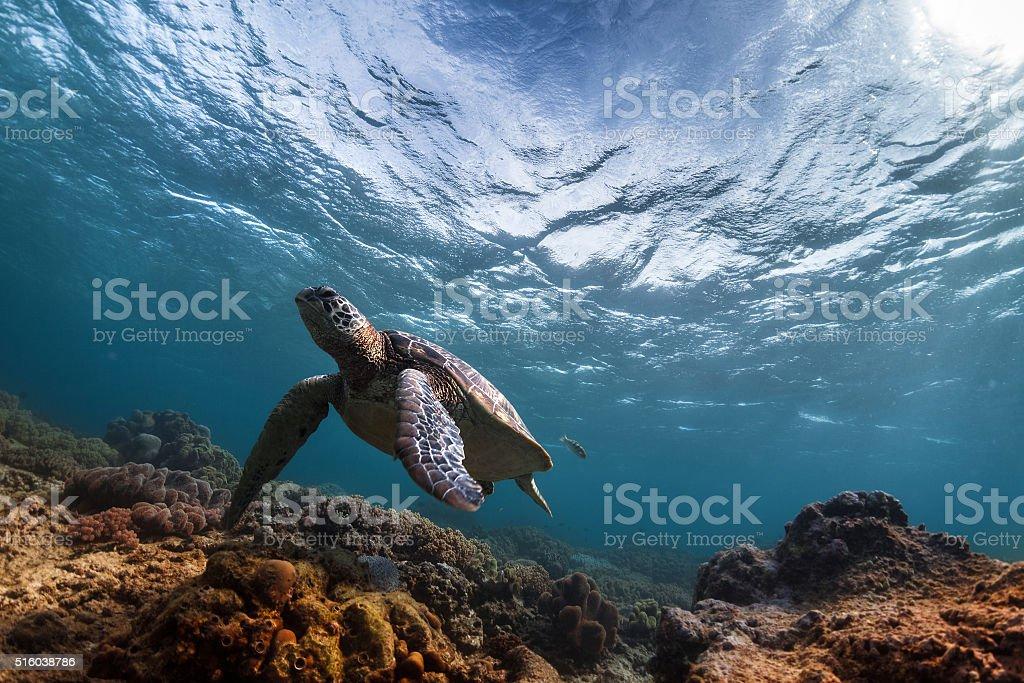 Turtle in the sea stock photo