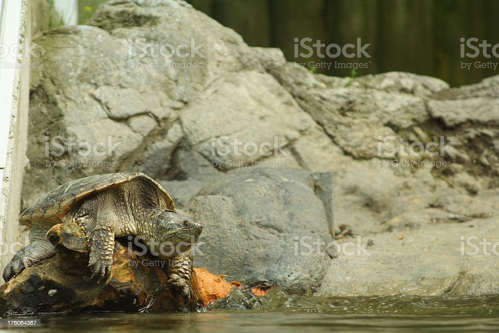 Turtle in the tank royalty-free stock photo