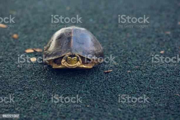 Turtle is shy inside shell on the floor take head for looking someone picture id692221002?b=1&k=6&m=692221002&s=612x612&h=wfxedrrmf1ocqq1q vpfzip8syimt9fpc9j 7rhrcks=