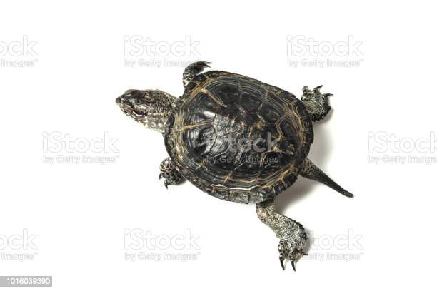 Turtle isolated on white background picture id1016039390?b=1&k=6&m=1016039390&s=612x612&h=4f95e8zsikbadgvrzwxsgffahbnx3y7aycrkqq9tjdq=