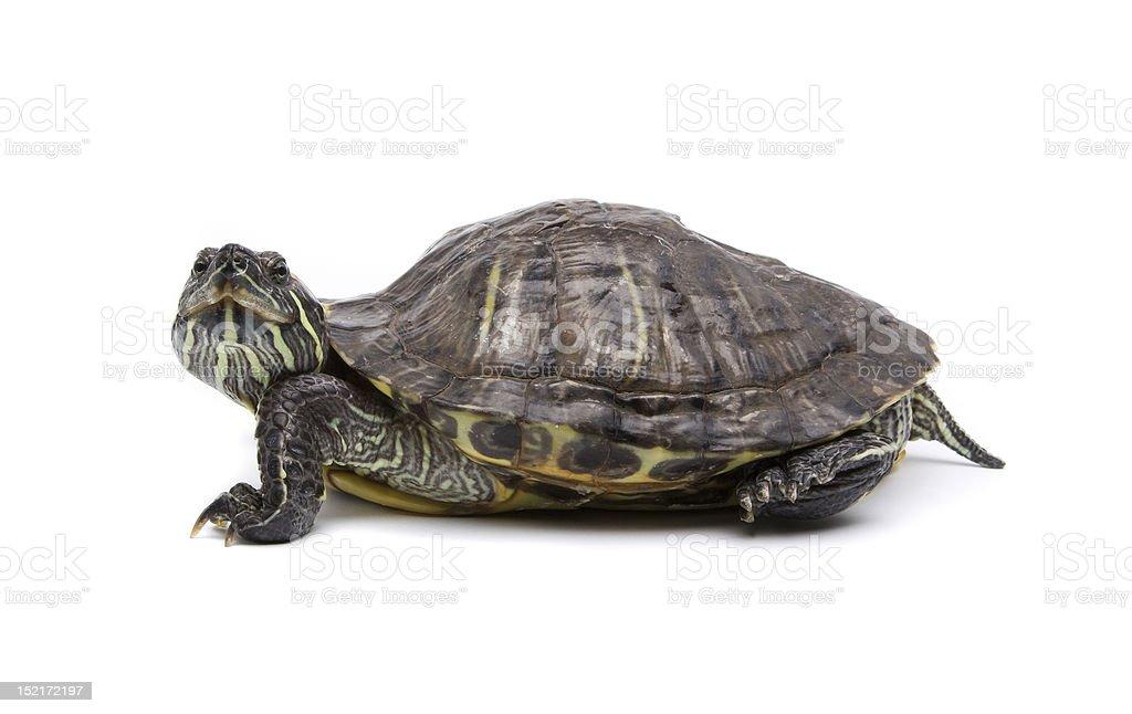 Turtle isolated on white stock photo