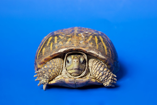 Turtle  isolated on blue background, shot on poster board with NO PS isolation