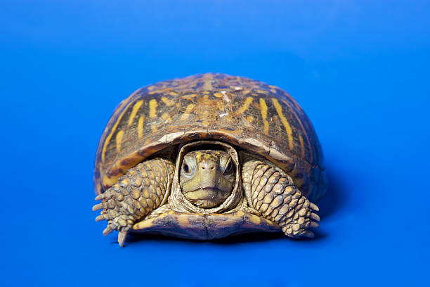 Turtle Isolated Turtle  isolated on blue background, shot on poster board with NO PS isolation slow motion stock pictures, royalty-free photos & images