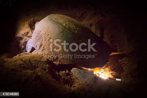 Turtle Laying Eggs in Sand Nest. Ranger's torch lighting up eggs. Mon Ripos beach Queensland Australia