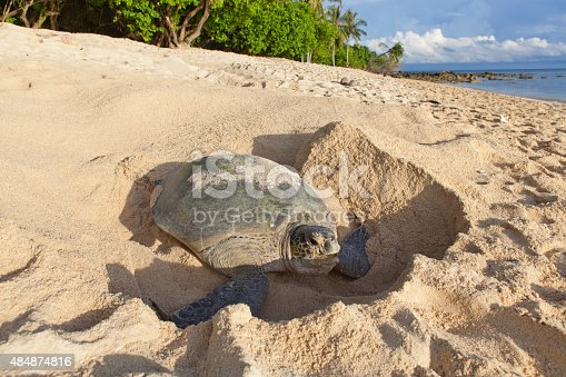 Green turtle (Chelonia mydas) laying her eggs and covering her nest on the beach in the daytime. Island Park (Taman Pulau Penyu) in Sabah, Borneo in Malaysia. Selingan Island