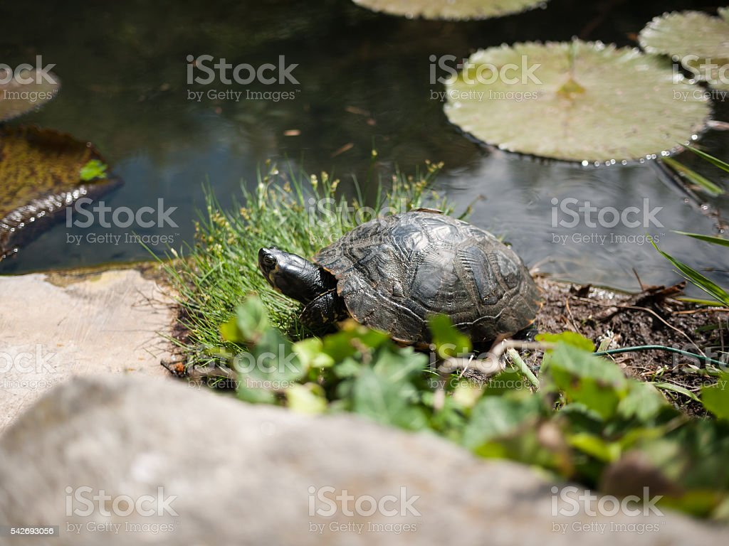 Turtle living in the garden pond stock photo