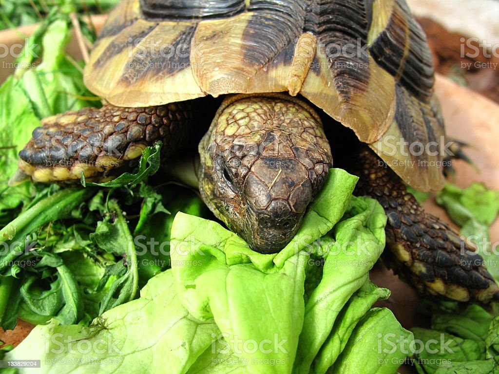 Turtle - not hungry? royalty-free stock photo