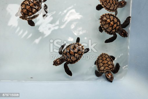 Baby turtle rise in conservation center of Thailand waiting to reture to nature